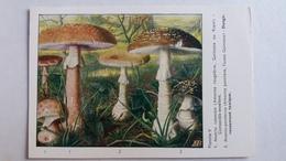 CHAMPIGNON CHAMPIGNONS PLANCHE V AMANITE ROUGEATRE PANTHERE    PUB TYZINE - Mushrooms