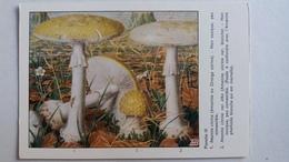 CHAMPIGNON CHAMPIGNONS PLANCHE III AMANITE ORONGE CITRINE  BLANCHE    PUB TYZINE - Mushrooms
