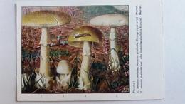 CHAMPIGNON CHAMPIGNONS PLANCHE I AMANITE PHALLOIDE MORTEL   PUB TERRAMYCINE - Mushrooms