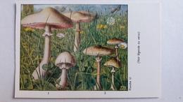 CHAMPIGNON CHAMPIGNONS PLANCHE LI LEPIOTE 2 MODELES PUB TERRAMYCINE - Mushrooms