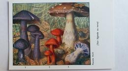 CHAMPIGNON CHAMPIGNONS PLANCHE XLIX CORTINAIRE VIOLET ROUGE REMARQUABLE  PUB TYZINE - Mushrooms