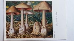 CHAMPIGNON CHAMPIGNONS PLANCHE LIII VOLVAIRE GLUANTE SOYEUSE   PUB TERRAMYCINE - Mushrooms