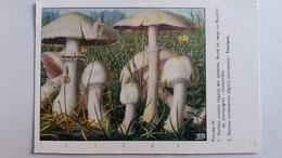 CHAMPIGNON CHAMPIGNONS PLANCHE IX AGARIC DES JACHERES JAUNISSANT    PUB TYZINE - Mushrooms