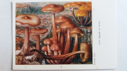 CHAMPIGNON CHAMPIGNONS PLANCHE XLV COLLYBIE BUTYRACEE A PIED EN FUSEAU A PIED VELU  PUB TYZINE - Mushrooms