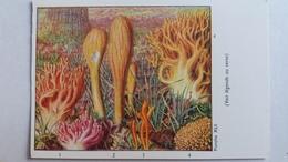 CHAMPIGNON CHAMPIGNONS PLANCHE XLII CLAVAIRE ELEGANTE PILON CALOCERE CLAVAIRE JAUNE MENOTTE  PUB TERRAMYCINE - Mushrooms