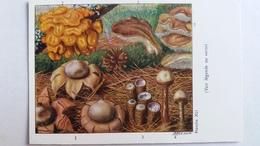 CHAMPIGNON CHAMPIGNONS PLANCHE XLI GEASTRE FIMBRIE TREMELLE CYATHE TULOSTOME TREMELLODON   PUB TERRAMYCINE - Mushrooms