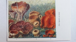 CHAMPIGNON CHAMPIGNONS PLANCHE XL PEZIZE VEINEE ACETABULE PEZIZE VESICULEUSE ORANGEE    PUB TERRAMYCINE - Mushrooms