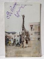 Sénégal. Girafe Originaire Du Sénégal - Sénégal