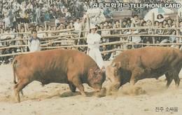 Korea South -  The Cattle Fighting In Jinju(Busan) - Korea, South