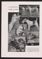 Pub Papier 1947 Exposition Canine Chiens Chien Levriers Teckels Fox Terrier  Cairn Terrier Bouledogues - Publicités