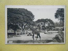 PARIS. Le Bois De Vincennes. Le Parc Zoologique. Les Girafes. - Parks, Gardens