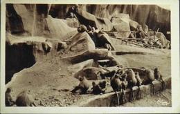 CPA. - FR. [75] Paris > Parcs, Jardins - Parc Zoologique Du Bois De Vincennes - Les Singes Hamadryas Daté 1941 - TBE - Parcs, Jardins