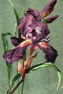 Fleurs, Plantes & Arbres > Fleurs  / IRIS - Fleurs