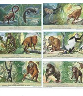 Les Singes Gibbon Ourang-Outan Gorille Maki Etc... 6 Chromos Série Complète Didactique Pub:Liebig 110 X 70 Mm  TB - Liebig