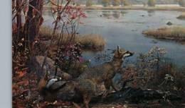 CPM - MINNEAPOLIS - University Of Minnesota - GRAY FOX  ... - Animaux & Faune