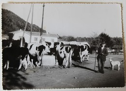 CPSM Peu Courante 31 Aurignac Berger Vaches à L'abreuvoir 1953 Paysan - France