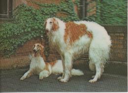 Borzoi - Hunde