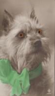 Animaux - Chien - Portrait Chien - Cairn Terrier Dog - Gros Yeux - Hunde