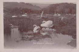 Abbotsbury Swan Swans Bird Swannery Antique Real Photo Postcard - Birds