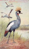 Golden Crane South Africa Bird Antique Postcard - Birds