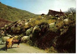 Corse N°2020 Beau Troupeau De Chèvres Dans Le Maquis - Non Classés