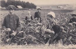 Coutumes, Moeurs Et Costumes Bretons (29) ROSKOFF Et SAINT POL DE LEON . La Récolte Des Artichauts (Très Beau Plan) - Saint-Pol-de-Léon