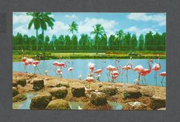 ANIMAUX - ANIMALS - FLORIDA FLAMINGOS AND NESTS AT HIALEAH COURSE MIAMI FLORIDA - BY GULF STREAM CARD - Oiseaux