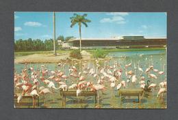 ANIMAUX - ANIMALS - FLORIDA FLAMINGOS AT HIALEAH COURSE MIAMI FLORIDA - BY COLOURPICTURE - Oiseaux