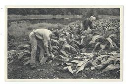 Alle-sur-Semois - La Récolte Du Tabac, Homme Et Femme - Pas Circulé - Ern. Thill - Vresse-sur-Semois
