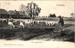 1 Postkaart  Kalmphout   Calmpthout  Op De Bessemhei  Schaaps Herder Herdershond  C1908 Uitgever F.Hoelen - Kalmthout