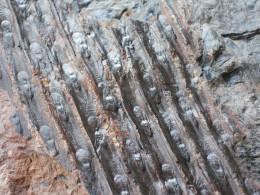 Fossiles Plante Du Carbonifère Carboniferous Plant Sigillaria Rugosa - Fossiles