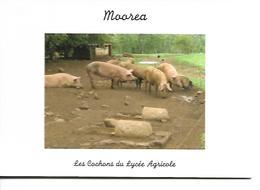 Polynésie Française - MOOREA - Les Cochons Du Lycée Agricole - Polynésie Française