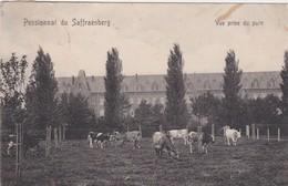 SINT-TRUIDEN-SAFFRAENBERG-PENSIONNAT-KOEIEN-VERSTUURD-1911-MOOI-ZIE DE 2 SCANS! - Sint-Truiden