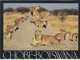 Chobe-Botswana - - Leones