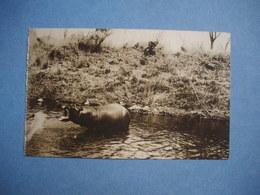 ZIMBABWE  -  Hippopotame D'Afrique - Zimbabwe