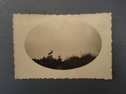 Photo Du Caribou Du Parc Terre-Neuvien Beaumont-Hamel (Somme) 14-18 - Guerre, Militaire
