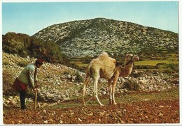 Libya - Tolmeta Agriculture With Camel - Agricoltura