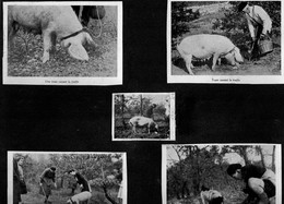 """PERIGORD - 5 Images Collées Sur Un Support Cartonné - Truie Cavant La Truffe - Chien """"fouillant"""" La Truffe. - Vieux Papiers"""