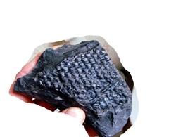 Fossiles Plante Du Carbonifère Carboniferous Plant Lepidophloios Laricinus. - Fossielen