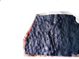 Fossiles Plante Du Carbonifère Carboniferous Plant Omphalophloios Anglicus. - Fossils