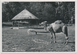 Basel - Zoologischer Garten - Dromedar, Ponny - Kunstverlag Otto Schmitt & Co. Basel 2 - BL Bâle-Campagne