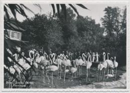 Basel - Zoologischer Garten - Flamingos - Kunstverlag Otto Schmitt & Co. Basel 2 - BS Bâle-Ville