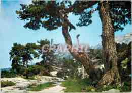 CPM Arette (Pyr Atl) Les Sapins Dans Le Site Grandiose Et Tourmente De La Pierre St Martin Alt 1650 - Autres Communes