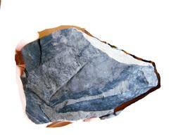Fossiles Plante Du Carbonifère Carboniferous Plant Cordaïtes Palmaeformis. - Fossielen