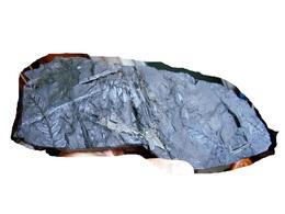 Fossiles Plante Du Carbonifère Carboniferous Plant Neuropteris Tenuifolia. - Fossili