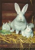 Konijn, Rabbit, Kaninchen, Lapin, Conejo (D29) - Animaux & Faune