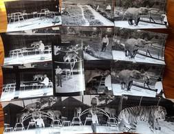 13 Photos - DRESSEUR-DOMPTEUR D'ANIMAUX, FAUVES,ELEPHANTS Au ZOO D' OZOIR LA FERRIERE -BOIS D'ATTILLY  (S Et M) (cirque) - Other