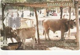Gambia -  Ndama Cattle - Gambia