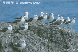 Korea South -  Bird - Black Tailed Gulls - Korea, South