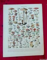 Planche Originale 32,5 X 25 Cm- Tirée Du  Nouveau Larousse Illustré: CHAMPIGNONS- Illustration A. MILLOT - Animali